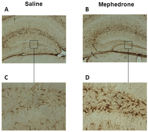 Representative hippocampal expression of glial fibrilliary acidic protein (GFAP).Sections of the dentate gyrus (×4 A, B; ×20, C, D) from mice exposed to saline (A, C) or mephedrone (3 doses of 25 mg/kg given subcutaneously for 2 days) (B, D). The animals were sacrificed 7 days after the last dose.