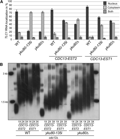 Cdc13-Est2 or Cdc13-Est1 expression partially rescues TLC1 nuclear localization in yku80-135i and yku80∆ strains. (A) Quantification of TLC1 localization by FISH in cdc13∆ (WT), cdc13∆ yku80-135i (yku80-135i), and cdc13∆ yku80∆ strains expressing either a Cdc13–Est2 or Cdc13–Est1 fusion protein. Error bars represent ± 1 SD. Unbudded cells from asynchronous cultures were analyzed. However, TLC1 localization was similar in all cells (data not shown). (B) Telomere length analysis of 1×–3× serial single-colony streakouts of cdc13∆ (WT), cdc13∆ yku80-135i (yku80-135i), and cdc13∆ yku80∆ (yku80∆) strains expressing a Cdc13–Est2 or Cdc13–Est1 fusion.