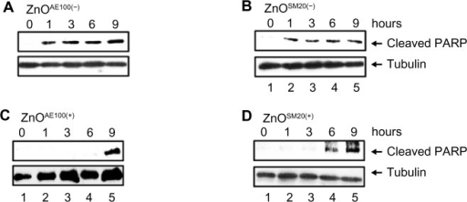 The effect of ZnO nanoparticles on caspase activation.Notes: U373MG cells were treated with 20 μg/mL of (A) ZnOAE100(−), (B) ZnOSM20(−), (C) ZnOAE100(+), or (D) ZnOSM20(+) NPs. At 0, 1, 3, 6, 9 hours after treatment, PARP cleavage was determined by Western blot analysis.Abbreviations: NPs, nanoparticles; PARP, poly-(adenosine diphosphate-ribose) polymerase; ZnO, zinc oxide.