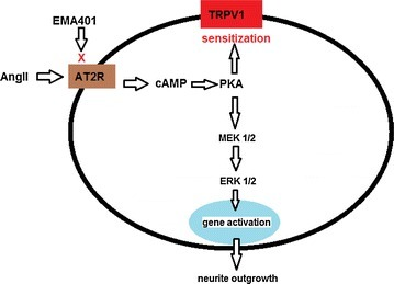 Diagram indicating the pathway involved in AngII and TRPV1 signalling, with activation of p38 (MAPK) and p44/42 (ERK) and their inhibition by EMA401 in DRG neurons.
