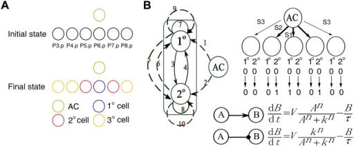 The C. elegans VPC patterning system and the coarse-grained model.(A) VPC differentiation. (B) Coarse-grained modeling of VPC patterning. The two-node model with 10 links numbered from 1 to 10 is shown in the left panel. Dashed lines represent intercellular interactions and solid lines intracellular interactions. The modeling system of five Pn.p cells along with their initial and target values is shown in the upper-right panel. The ODE functions of two examples are shown in the lower-right panel.
