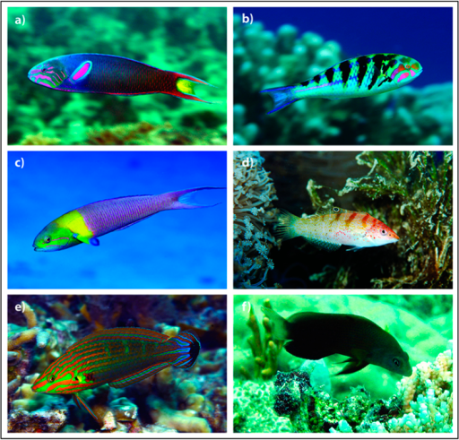 Predator and non-predator species.Images of (a) Thalassoma lunar – learned predator, (b) Thalassoma hardwicke – congeneric predator, (c) Thalassoma amblycephalum – congeneric non-predator, (d) Coris batuensis – confamilial predator, (e) Halichoeres melanurus – confamilial non-predator and (f) Pseudochromis fuscus – distantly related predator. Photos a – e copyright by Jeanette Johnson (© In-Depth Images Kwajalein). Retrieved 16 June 2015, http://www.underwaterkwaj.com/. Reproduced with permission of creator. Photo f courtesy of M.I.M.