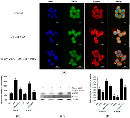 Effect of 4-PBA on the levels of GRP78 and CHOP in ZEA-treated RAW 264.7 macrophages. RAW 264.7 macrophages were treated 24 h with 30 µM ZEA or 30 µM ZEA with 700 nM 4-PBA. (A,B) Confocal immunofluorescence photomicrography showed the expression of CHOP protein (green fluorescence) and GRP78 protein (red fluorescence) in the control (the upper panels), ZEA (the center panels) or ZEA + 4-PBA cells (the bottom panels). Bars = 20 µm; (C,D) Western blot analysis of GRP78 and CHOP in ZEA-treated RAW 264.7 macrophages. The analyses of the band intensities on films are presented as the relative ratio of GRP78 and CHOP to β-actin. Statistical analysis is shown in the bar graphs. Data are presented as the mean ± SEM of three independent experiments. Bars with different letters are significantly different (p < 0.05).