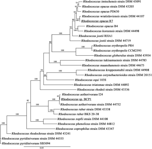 PhylogeneticTree.Phylogenetic analysis of R. opacus R7 and Rhodococcus sp. BCP1 based on sequence alignments with reference strains of Rhodococcus genus. The tree was constructed based on concatemer sequences of four marker genes of the 28 strains: 16S rRNA gene, secY gene, rpoC gene and rpsA gene.