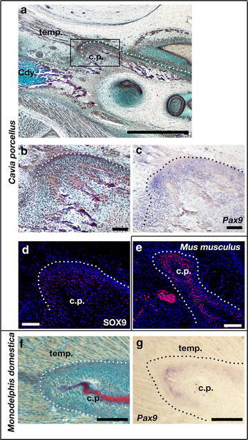 Pax9 expression in coronoid process of guinea pig and opossum. a, b, f Sirius red/alcian blue trichrome staining of parasagittal section through dentary of E32 guinea pig (a, b) and P10 opossum (f). The rudimentary coronoid process of the guinea pig is associated with a small temporalis muscle containing very few fibres (a, b) when compared with the large muscle surrounding the process of the opossum (f). c, g In situ hybridisation shows that Pax9 is expressed around the coronoid process of both the guinea pig (c) and the opossum (g). d, e. Immunofluorescence staining shows that Sox9 is weakly expressed around the coronoid process of the guinea pig (d) compared to the E15.5 mouse (e); temp temporalis muscle; cp coronoid process; Cdy mandibular condyle; Scale bar in a is 1000 µm; Scale in b–f is 100 µm