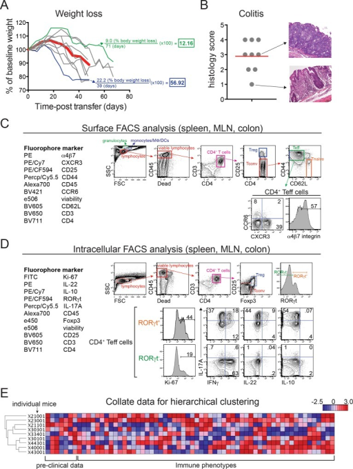 An informatics approach to correlating immune phenotpyes with weight loss or colitis in a T cell transfer mouse model of IBD.(A) Weight loss in FVB.Rag1-/- mice (n = 9) injected with wild type naïve CD4+ T cells. Weights are shown relative to day 0 (pre-transfer baseline). Bold red trace shows mean weight loss for the group; green and blue traces show individual mice displaying mild or aggressive weight loss, respectively. Examples of disease severity index (DSI) calculations are shown in color-coded text. (B) Quantitative colitis scores (n = 9) from the same group of T cell-transferred FVB.Rag1-/- mice shown in (A). H&E-stained colon tissues were scored blindly as in [17]; representative micrographs (at right) show mild (score of 1) and severe (score of 3) inflammation (20x magnification). Red horizontal bar indicates mean colitis scores for the group. (C) Left, 10-parameter FACS panel used for analyzing ex vivo expression of surface antigens on leukocytes isolated from spleen, mesenteric lymph nodes (MLN), and colon lamina propria (colon) of FVB.Rag1-/- mice injected as in (A). Right, Gating strategy for surface FACS analysis; immune subsets used in downstream analysis are indicated by gates, text, and where appropriate, percentages. (D) Left, 11-parameter FACS panel used for analyzing ex vivo expression of intracellular transcription factors and cytokines in leukocytes isolated from T cell-transferred FVB.Rag1-/- mice as above. Right, Gating strategy for intracellular FACS analysis; immune subsets used in downstream analysis are indicated by gates, text, and where appropriate, percentages. (E) Heat map showing hierarchical clustering of 7 disease endpoints and 57 immune phenotypes in T cell-transferred FVB.Rag1-/- mice as above. Dendrograms (far left) show the clustering relationship between the mice based on all disease endpoints and immunophenotypes.