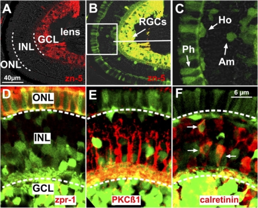 ath5:GFP cells become RGCs and other cell types in the zebrafish retina. (A–C) Sections through the central retina of a 5-d ath5:GFP transgenic embryo. (A) The three retinal cell layers are separated by a white dashed line. (B) Retinal ganglion cell (RGC) ath5:GFP progenitors in the ganglion cell layer (GCL) are zn-5+. The white box in B indicates the area shown in C. Some ath5:GFP progenitors (C) become photoreceptors (Ph), amacrines (Am), and horizontal (Ho) cells. (D–F) Sections of 4-d ath5:GFP transgenic embryos immunostained with zpr-1 (D), PKCβ1 (E), and calretinin (F; arrows). White dashed lines separate the three retinal cell layers. ath5:GFP cells colabel with zpr-1 in the outer nuclear layer (ONL) and with calretinin in the inner nuclear layer (INL). ath5:GFP cells in the INL do not colabel with PKCβ1.