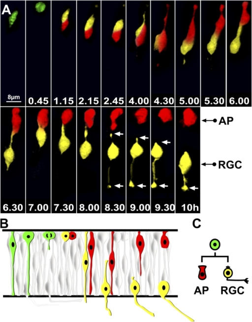 ath5:GFP progenitors appear in G2 and divide once, generating one RGC and one non-RGC daughter cell. (A) Time-lapse series showing the lineage of an ath5:GFP progenitor transplanted in a wild-type environment. Imaging was started 30–32 h after fertilization, and t = 0 corresponds to the time of appearance of ath5:GFP (4 h after the onset of the video recording). Daughter cells have been highlighted with different colors (red or yellow). The apical surface is up, whereas the basal surface is down. After division (t = 45 min), both daughter cells migrate toward the basal surface. At t = 5 h, one daughter cell (red) migrates toward the apical surface, whereas the other one (yellow) retracts the apical process and starts to grow an axon toward the basal surface. The white arrows point at the retracting apical process and the growth cone at the tip of the axon. Every single image is a 3D reconstruction of confocal stacks. AP, apical cell; RGC, retinal ganglion cell. (B) Diagram similar to the one shown in Fig. 1 B illustrating this division lineage, which is schematically represented in C.
