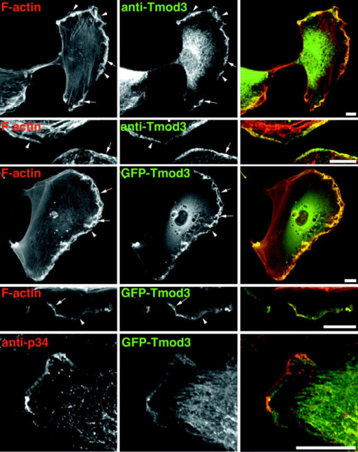 Localization of Tmod3 in HMEC-1 cells. HMEC-1 cells were fixed and stained with fluorescent phallacidin and anti-Tmod3 polyclonal antibodies followed by fluorescent anti–rabbit IgG antibodies. GFP–Tmod3 colocalizes similarly with fluorescent phalloidin. Arrows indicate ruffles, arrowheads indicate small lamellipodia. In the bottom row, Tmod3 localizes to the lamellipodia, including a region behind Arp2/3. Cells expressing low levels of GFP–Tmod3 were fixed and stained with anti-p34 polyclonal antibodies. Bars, 8 μm.