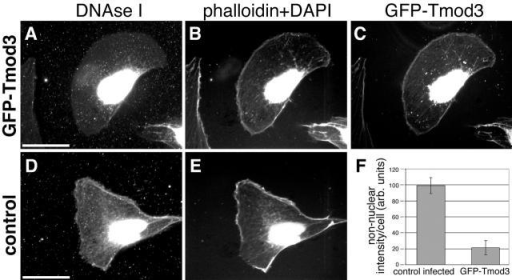 Tmod3 caps actin filament pointed ends in vivo. (A–C) Permeabilized cell expressing GFP–Tmod3 stained with DNase I or coumarin–phalloidin and DAPI. (A) Rhodamine–DNase I; (B) DAPI + phallacidin; (C) GFP–Tmod3. (D and E) Permeabilized control-infected cell stained with DNase I (D) and coumarin–phalloidin (E). DAPI staining labels nuclei in the same channel as coumarin–phalloidin. Bar, 15 μm. (F) Quantitation of nonnuclear DNase I staining in control and GFP–Tmod3-expressing cells. Values are averages from >20 cells for each cell type, standard deviation is shown by error bars.