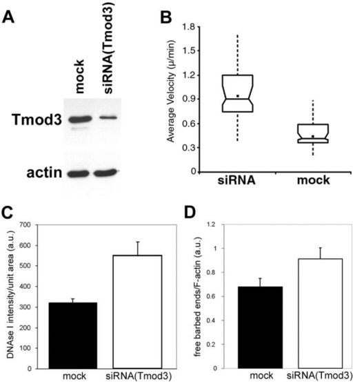 Effects of decreased Tmod3 levels by siRNA(Tmod3). HMEC-1 cells were transfected with siRNA duplex oligos against Tmod3 or mock transfected. Cells were later trypsinized and seeded onto either dishes for immunoblot analyses or onto coverslips for live cell motility analyses. (A) Immunoblots of equal numbers of mock- or siRNA-transfected cells, probed with either anti-Tmod3 antibodies (top) or C4 anti-actin monoclonal antibodies (bottom). (B) Average cell migration velocities measured over 4 h on either mock-transfected (n = 72) or siRNA-transfected (n = 64) cells. Box and whisker plots were generated as described in the Materials and methods. siRNA(Tmod3)-transfected cells migrate ∼2× faster than mock cells (P < 0.001). (C) Quantitation of total free pointed ends per cell by DNase I staining. (D) Quantitation of lamellipodial free barbed ends by rhodamine–actin incorporation as a ratio of fluorescent phalloidin. siRNA(Tmod3)-transfected cells exhibit a 45% increase in free barbed ends/F in lamellipodia (n = 30 per category; P < 0.005) and a 70% increase in total free pointed ends (n = 22 per category; P = 0.0069). In C and D, standard error of the mean is indicated.