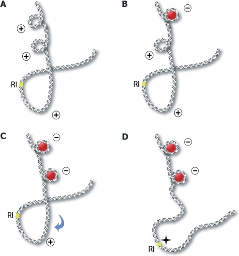 Replication preinitiation model. (A) Poorly stable DNA with inherent structures made of curved and supercoiled features. (B) A positively supercoiled region (+) is recognized and bound by a component of pORC, Orc4p (red circle) which organizes the DNA into a negative loop (−). (C) A second site (+) is recognized and bound by a second Orc4p, and a second negative loop is generated (−). (D) These binding events cooperate in unwinding DNA and displace the apex of the curvature to the RI site. Although the region is not melted, strand opening at this site may be greatly facilitated (star).