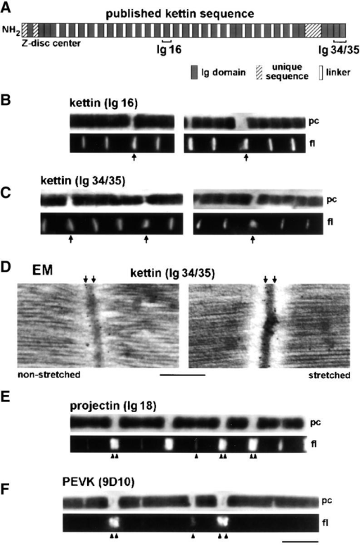 Immunolabeling of relaxed Drosophila IFM sarcomeres with various antibodies. (A) Domain structure of kettin (Kolmerer et al., 2000) and position of kettin antibodies used. (B and C) IF microscopy of stretched single myofibrils stained with kettin antibodies and Cy-3–conjugated IgG. (D) IEM of sarcomeres at rest length and after small stretch, stained with α-kettin Ig34/35. (E and F) IF of stretched single myofibrils stained with α-projectin (E) and α-PEVK antibodies (F). pc, phase–contrast image; fl, fluorescence image. Bars: (D) 0.5 μm; (F, IF images) 5 μm.