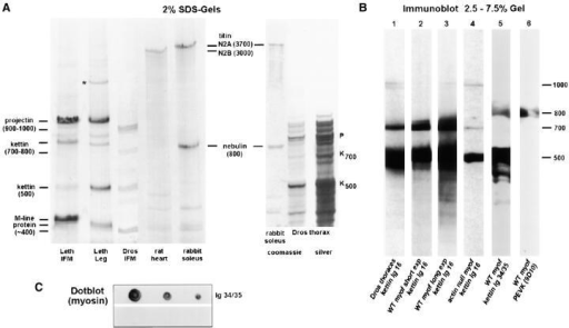 Isoforms of large insect muscle proteins studied by SDS-PAGE and immunoblotting and dotblot to probe kettin-myosin binding. (A) Coomassie-stained 2% SDS-gels to separate projectin and kettin of Lethocerus IFM/leg muscle or Drosophila IFM myofibrils. Drosophila thoraces frozen in liquid nitrogen immediately after dissection were also included in the analysis (right two lanes; right lane is silver stain). For size comparison and to construct a calibration curve for high molecular weight proteins, large rat cardiac and rabbit psoas proteins were used. P, projectin; K, kettin; *unidentified band. (B) Immunoblots. Proteins in Drosophila thoraces (lane 1) or washed IFM myofibrils (lanes 2–6) were separated on 2.5–7.5 SDS-gradient gels. Lane 4 was run with IFM myofibrils from the Drosophila actin- mutant, KM88. Immunoblots in lanes 1–4 were incubated with α-kettin Ig16; lane 3 is a longer exposure of lane 2, whereas lanes 3 and 4 were exposed for the same time to compare relative amounts of 500-kD kettin in wild-type and actin-. Lane 5 was incubated with α-kettin Ig34/35 and lane 6 with 9D10 antibody to PEVK. Molecular masses are estimated relative to kettin (500 kD) and projectin (900 kD). (C) Dotblot to show binding of expressed kettin Ig34/35 domains to myosin. Upper strip, dots of 2.0, 1.0, and 0.5 μg of Lethocerus myosin incubated in Ig34/35 followed by anti-His and second antibody; lower strip, myosin dots incubated with anti-His and second antibody only.
