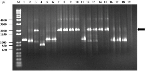 PCR analysis of the plasmids found in tetracycline resistant mutants. PCR with primers G11 and G12 was carried out in order to amplify the selection cartridge of pGBG1 in tetracycline resistant mutants obtained in Brucella. The black arrow indicates the position of the PCR fragment obtained from pGBG1/TcR mutants due to insertions encountered in B. ovis BOC22 and B. pinnipedialis B2/94 strains (Lanes 3, 7, 8, 9, 10, 12, 13, 14 and 15). Mutants due to deletions and point mutations (Lanes 2, 4, 5, 6, 11, 16, 17 and 18) produced PCR products of the same size or smaller than the vector pGBG1 (Lane 1). M: Molecular Weight Marker 1 Kb plus DNA Ladder.1. Lane 19. Negative control (PCR reaction mixture without DNA).