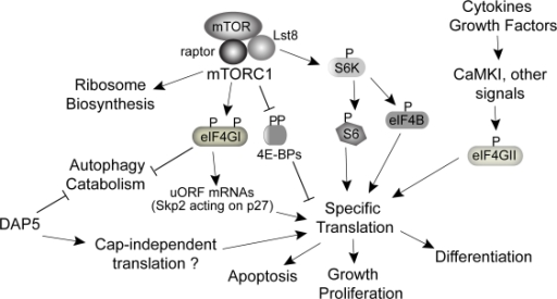 eIF4GI in the context of mTORC1 and other eIF4G family members. mTORC1 signaling regulates cellular growth at various levels, including increasing anabolic processes (ribosome biogenesis and increased protein synthesis), and preventing catabolic processes such as autophagy and fatty acid oxidation. mTORC1 controls translation through the well-known factors 4E-BPs and S6K. eIF4GI total and phosphorylated levels increase in response to mTORC1 activity. eIF4GI modulates translation of low abundance, uORF-containing mRNAs such as Skp2, promoting decreased levels of p27 and therefore proliferation, as well as preventing autophagy. DAP5 and eIF4GI are both required to maintain overall protein synthesis rates, and silencing results in autophagy. Whether DAP5 is also controlled by mTOR is not known. Both DAP5 and eIF4GI are thought to participate in cap-independent translation during apoptosis. eIF4GII silencing does not alter global translation rates, and it may instead participate in translational reprogramming during differentiation.