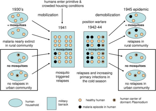 Scheme of re-emerging malaria during the Continuation War. In crowded conditions with mosquitoes the malaria epidemic starts with mosquito triggered relapses in hypnozoite carriers. In the next step mosquitoes become infective and gradually spread sporozoites into healthy humans. After the war hypnozoite carriers got relapses if Anopheles mosquitoes were present.