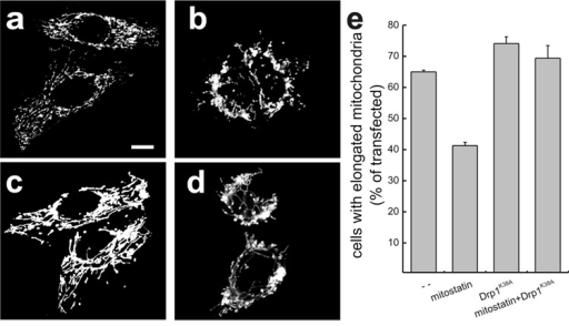 MITOSTATIN promotes mitochondrial fragmentation and clumping independently of Drp1(a–d) Representative confocal images of mt-dsRED fluorescence in HeLa cells transfected with mt-dsRED (a) or co-transfected with mt-dsRED and MITOSTATIN (b), dominant negative Drp1 (Drp1K38A, c), and MITOSTATIN plus Drp1K38A (d). Bar, 10 µm. (e) morphometric analysis of mitochondrial fragmentation induced by overexpression of MITOSTATIN. Data represent mean ± SE of 5 independent experiments.