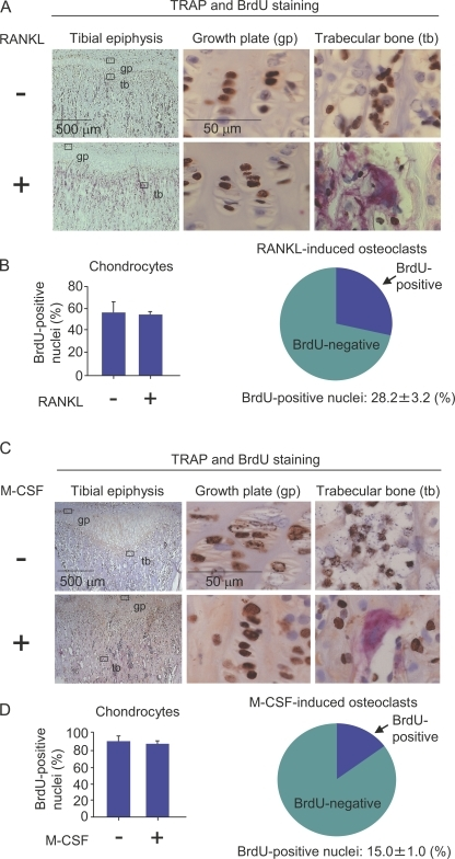 Effects of RANKL and M-CSF on the incorporation of BrdU into nuclei of osteoclasts. (A and B) Administration of RANKL to RANKL−/− mice. 3-wk-old RANKL−/− mice were i.p. injected with RANKL (15 µg/injection/day) together with BrdU (1 mg/injection/day) for 2 d. The first injection of BrdU was performed 3 h before the first injection of RANKL. 24 h after the final injection, the tibiae were recovered. (A) Sections of tibiae were prepared and double stained for TRAP (red) and BrdU (brown). Portions of the epiphyseal growth plate (middle) and trabecular bone (right) were observed at a higher magnification. (top) Osteoclasts were totally absent in RANKL−/− mice. (bottom) The administration of RANKL to RANKL−/− mice induced osteoclasts to form in trabecular bones. (B, left) BrdU+ and BrdU− nuclei of chondrocytes in growth plates were counted, and percentages of BrdU+ nuclei in chondrocytes were calculated. (right) BrdU+ and BrdU− nuclei of RANKL-induced osteoclasts were counted, and percentages of BrdU+ nuclei in the osteoclasts were calculated. (C and D) Administration of M-CSF to op/op mice. 3-wk-old op/op mice were i.p. injected with M-CSF (2 × 106 U/injection/day) together with BrdU (1 mg/injection/day) daily for 7 d. The first injection of BrdU was performed 3 h before the first injection of M-CSF. 24 h after the final injection, the tibiae were removed from the mice. (C) Sections of tibiae were prepared and double stained for TRAP (red) and BrdU (brown). Portions of epiphyseal growth plate (middle) and trabecular bone (right) were observed at a higher magnification. (top) Osteoclasts were totally absent in the tibiae of 3-wk-old op/op mice. (bottom) The administration of M-CSF to op/op mice induced osteoclasts to form in trabecular bones. (D, left) BrdU+ and BrdU− nuclei of chondrocytes in growth plates were counted and percentages of BrdU+ nuclei in chondrocytes were calculated. (right) BrdU+ and BrdU− nuclei of M-CSF–induced osteoclasts were counted, and percentages of BrdU+ nuclei in the osteoclasts were calculated. The results are expressed as the mean ± SD for three animals.