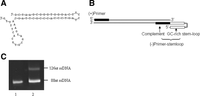 Unequal strand length PCR using a primer with stem-loop structure. (A) The secondary structure of the (−) primer Pstemloop-3. (B) Schematic of PCR product. The (−) primer has a GC-rich reverse repeat sequence in the 5′ terminus, which can form the stem-loop structures and prevent the (+) strand elongation. (C) PCR products were analyzed by denaturing gel electrophoresis. Lane 1, the ssDNA of the naive library GP45; lane 2, the unequal length ssDNA products.