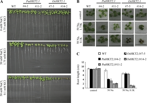 Potassium-dependent Na-sensitivity of PutHKT2;1 and OsHKT2;1 over-expression lines. (A) Seven-day-old WT and transgenic seedlings grown on MS were transferred to minimal-medium supplemented with 1.75 mM or 0.1 mM KCl and 50 mM NaCl. (B) Shoot phenotype of seedlings grown in (A). Bar in each picture indicates 1 cm. (C) Root-lengths of WT and transgenic seedlings after the indicated treatments. Results are expressed as means ±SE (n=5).
