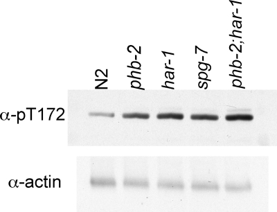 AMPK is activated in phb-2, har-1, and spg-7, suggesting impaired ATP production. Wild-type and mutant adult worms were lysed and analyzed by immunoblotting with an antibody that recognizes phosphorylated T172 on AMPK-α. The blot was reprobed with antibody to actin.
