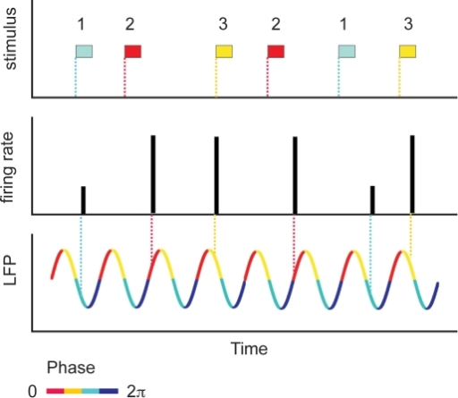 Schematic representation of a phase code.Firing rate of a cell in response to three different stimuli. By reading out the number of spikes per unit time (the height of the bars), stimulus 1 is distinguishable from the other two stimuli. However, stimuli 2 and 3 induce the same response, and therefore cannot be discriminated on the basis of the firing rate alone. However, if also the timing with respect to the phase of the LFP is taken into account, stimuli 2 and 3 become distinguishable. Inspired on a figure from [11].