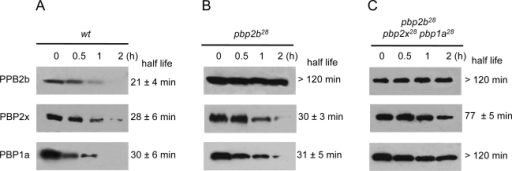 Stability in vivo of wild-type and mutant PBPs.Strains Cp1015 (Panel A), Cp1015 pbp2b28 (Panel B) and Cp1015 pbp2b28pbp2x28 pbp1a28 (Panel C) expressing HA-tagged PBPs were grown in Todd Hewitt broth with 0.5% Yeast Extract to an OD600 nm of 0.2 prior to the addition of kanamycin (500 µg/ml) to inhibit protein synthesis. At the time intervals indicated, aliquots were withdrawn and analyzed by SDS-PAGE followed by immunoblotting with an anti-HA monoclonal antibody (see Material and Methods).
