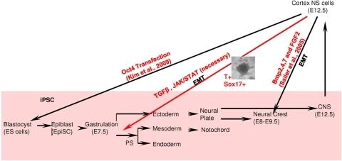 Schematic diagram depicting our interpretation of the r | Open-i