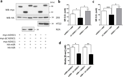 Mutant DISC1 depletes SR[a] SR protein is depleted when co-expressed with mutant DISC1 in HEK-293, HT-22 and N2A cell lines compared to full-length DISC1.Quantification of mouse [b] and human SR protein [c] when co-expressed with different forms of DISC1 in HEK-293 cells. mSR, mouse SR; hSR, human SR. Data are representative of 4 independent experiments, *p<0.05, ***p<0.0005.[d] Mutant DISC1 decreases D-serine production. L-serine (10 mM) was added to the cell culture media of HEK-293 cells transfected with different constructs and 24 h later, D-serine in the media was measured by the spectrophotometric assay. *p<0.05, **p<0.005.
