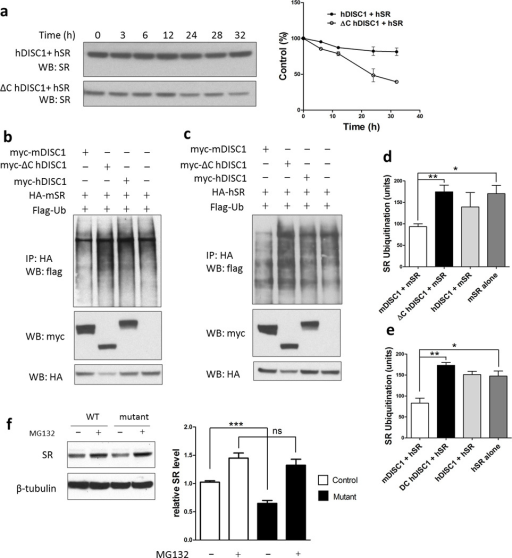 Mutant DISC1 depletes SR protein by increasing its ubiquitination level[a] Cycloheximide chase assay. HEK-293 cells were treated with 70 mg/ml cycloheximide 24–36 h after transfection and SR level was quantified. Protein levels were expressed as percentage of the level at time 0. The half-life of SR is significantly shorter when co-expressed with mutant DISC1.[b,c]In vivo ubiquitination assay of mouse [b] and human SR [c] in HEK-293 cells.The levels of mouse and human SR ubiquitination are higher when co-expressed with mutant DISC1 as quantified in [d] and [e], respectively.Primary astrocytes [f] were treated with the proteasome inhibitor MG-132 (30 µM for 10 h), and relative SR protein levels are quantified below the blots. The value of SR level in primary astrocytes from control mice before treatment has been normalized to 1.0.