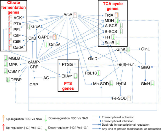 Regulatory network controlling the expression or the activity ofK. oxytocaBAS-10 differentially abundant proteins. The relationships are reported according to EcoCyc database [23], Bott (1997) [1], Salmon et al. (2005) [34] and Kumar et al. (2011) [49]. Dashed lines refer to an indirect relationship.