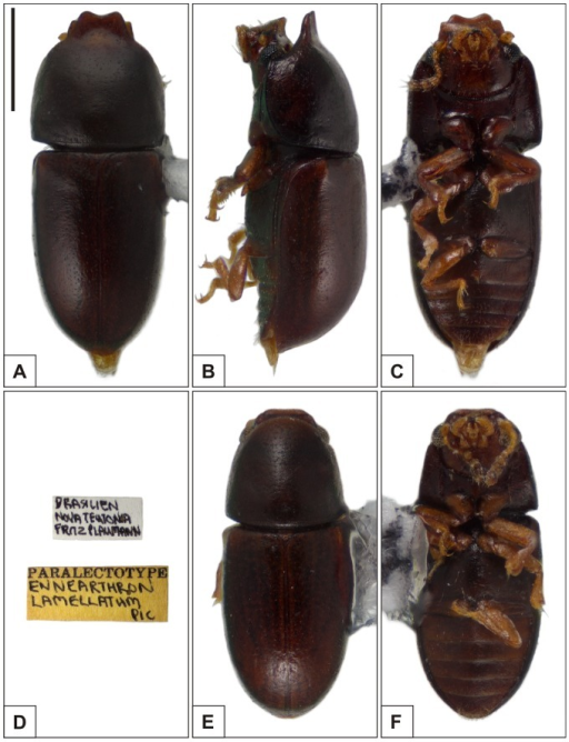 Habitus of Ceracis lamellatus (Pic).A–C Paralectotype male, (A) dorsal view, (B) lateral view, (C) ventral view, (D) label data. E–F Paralectotype female, (E) dorsal view, (F) ventral view. All figures are in the same scale, except for labels. Scale bar  = 0.5 mm.