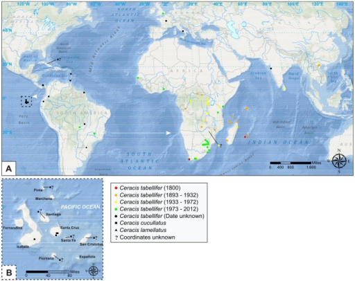"Geographic distribution of Ceracis cucullatus (Mellié), Cer. lamellatus (Pic) and Cer. tabellifer (Mellié).(A) Arrows indicate the possible direction of introductions of Cer. cucullatus and Cer. tabellifer in the Galapagos Islands and Africa, respectively. The records of Cer. tabellifer are divided into four time periods, represented by different colors. Undated records are represented by black circles (see map legend). Between 1800 and 1893, no record was found. (B) Geographic distribution of Cer. cucullatus in the Galapagos Islands. Records of Cer. cucullatus from Cuba and Galapagos Islands (Floreana, Pinta, San Cristobal, Santa Fé, Santiago), and of Cer. tabellifer from Zimbabwe are indicated by ""?"", because it was not possible to determine the exact collection site."