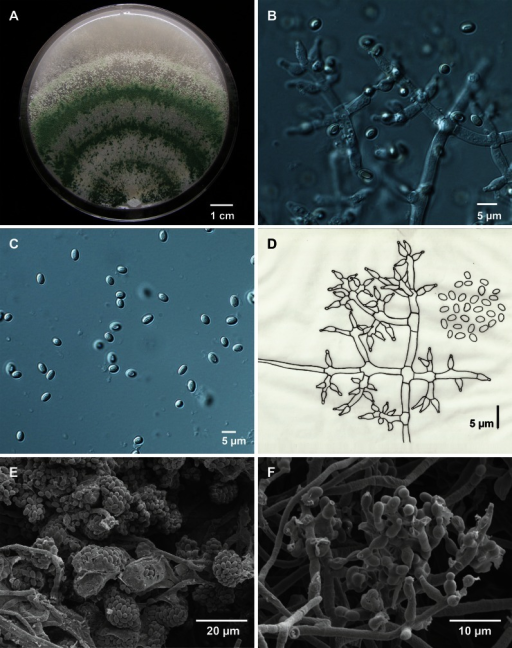 Morphology of Trichoderma strigosellum sp. nov. CBS 102817. a. Colony on cornmeal agar (CMA) at room temperature; b. Branching conidiophores and phialides on CMA; c. Conidia on CMA; d. Drawing of conidation and conidia from CMA; e. Low magnification of SEM image of spore clusters; f. SEM of hyphae, phialides and conidiogenesis
