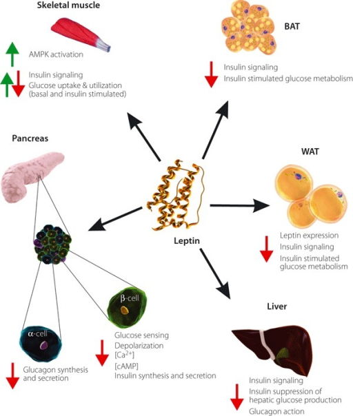Direct actions of leptin on tissues that contribute to glucose homeostasis. Leptin acts on peripheral leptin receptor‐b isoform expressing tissues, including the endocrine pancreas and insulin‐sensitive tissues. Direct leptin action on the endocrine pancreas inhibits insulin secretion from β‐cells, and glucagon secretion from α‐cells. Leptin acts on adipocytes to suppress insulin signaling and action, and in vivo studies indicate that leptin directly antagonizes hepatic insulin sensitivity. Direct leptin action on skeletal muscle can either increase or decrease glucose uptake and insulin stimulated glucose metabolism, and the overall effect remains controversial (combined up and down arrow). AMPK, adenosine monophosphate‐activated protein kinase; BAT, brown adipose tissue; cAMP, cyclic adenosine monophosphate; WAT, white adipose tissue.