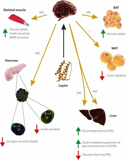 Centrally‐mediated actions of leptin on tissues that contribute to glucose homeostasis. Leptin activates leptin‐responsive relays initiating in the hypothalamus that mediate leptin action on the endocrine pancreas and insulin sensitive tissues through autonomic efferents. The sympathetic nervous system has been implicated in central leptin action on insulin secretion, and glucose metabolism in brown adipose tissue, skeletal muscle and the liver. The parasympathetic nervous system might mediate effects of central leptin on hepatic insulin sensitivity and glycogenolysis. It is unclear which autonomic system mediates leptin action on glucagon secretion and the inhibition of insulin signaling in white adipose tissue. AMPK, adenosine monophosphate‐activated protein kinase; BAT, brown adipose tissue; PNS, parasympathetic nervous system; SNS, sympathetic nervous system; WAT, white adipose tissue.
