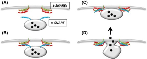 Vesicle (v) and target (t) SNAREs reside on opposing membranes. (A) In response to stimulus the vesicle translocates near to the target membrane and the four SNARE domains associate. (B) A conformational change in the complex brings the membranes close together and (C) eventually leads to overcoming the energy barrier enabling (D) fusion of the membranes and release of granular contents. This model and the core SNARE machinery is ubiquitously expressed throughout eukaryotic cells.