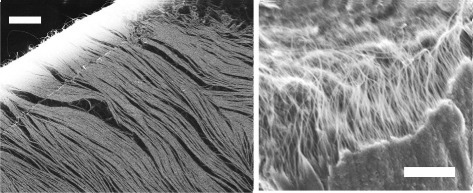 FE-SEM images of DNA-stabilized CNT arrays. The aligned CNTs constitute electrically fabricated micro-cloths. Scale bars: 2 μm.