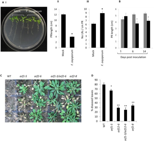 Auxin-related phenotypes and role of ARF2 in the A. thaliana—F. oxysporum interaction.(A) F. oxysporum inoculation triggers root growth inhibition and lateral root (LR) proliferation in agar-grown Col-0 seedlings. (i) Two week old seedlings were inoculated with water (mock) or F. oxysporum and photographed at 9 days post inoculation. (ii) Mean primary root (PR) length or (iii) mean number of LRs per cm PR in mock or F. oxysporum—inoculated agar-grown seedlings measured at 9 dpi. (B) F. oxysporum inoculation triggers root growth inhibition in soil-grown Col-0 plants. Mean PR length in mock (grey bars) or F. oxysporum (black bars)–inoculated soil-grown plants at 1, 6 and 14 dpi. Data shown are mean and standard error from >13 plants. Asterisk indicates significant difference between mock and F. oxysporum treatment (P<0.05). (C) Representative F. oxysporum- inoculated WT (Col-0) and mutant plants at 14 days post inoculation (dpi). (D) Mean percentage of diseased leaves per plant and standard error from at least 30 plants per line. Asterisks indicate significant difference relative to WT (*P<0.05; **P<0.01).