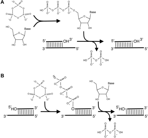 Two alternative routes to RNA polymerization in an RNA World. (A) RNA polymerization could have proceeded in a fashion analogous to modern DNA or RNA synthesis, where nucleoside triphosphates are first formed, then react with the primer 3'-hydroxyl groups to elongate the primers in 5'- to 3'-direction; (B) Alternatively, RNA World organisms could have relied on RNA polymerization in the 3'- to 5'-direction: here the primer 5'-hydroxyl group is first triphosphorylated, then the activated primer reacts with a nucleoside 3'-hydroxyl group to extend the primer in 3'- to 5'-direction. Note that the monomer in (A) carries three negative charges whereas it is uncharged in (B), facilitating stronger binding of the nucleoside to the elongating primer 5'-terminus.