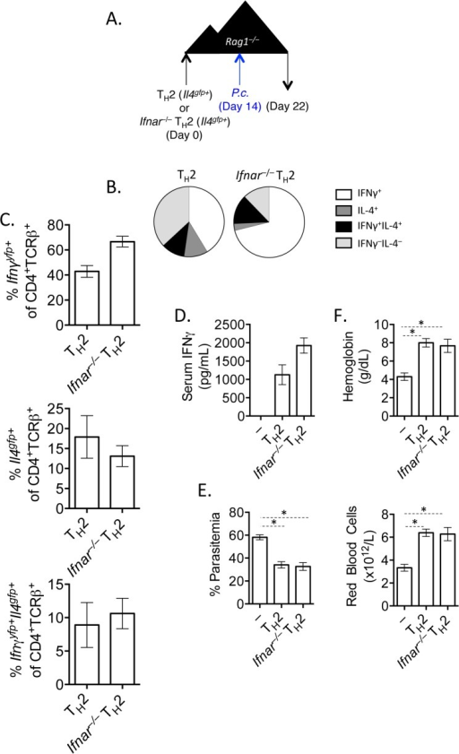IFNγ production by Th2 cells does not depend of type I IFN.A). CD4+TCRβ+Il4gfp+Ifnar+/+ or Ifnar–/–Th2 cells were transferred to Rag1–/–mice. Recipient mice were infected with 105P. chabaudi 14 days later and mice were harvested at day 8 post-infection. B and C). Cytokine expression in transferred cells in the spleen (ICS). D). IFNγ protein in serum, measured by ELISA. E). Percent parasitemia, determined by blinded counting of Giemsa-stained blood smears. F). Hemoglobin and red blood cell counts determined by Vetscan. Data are representative of 2 independent experiments with 5–6 mice per group. * denotes P<0.05.