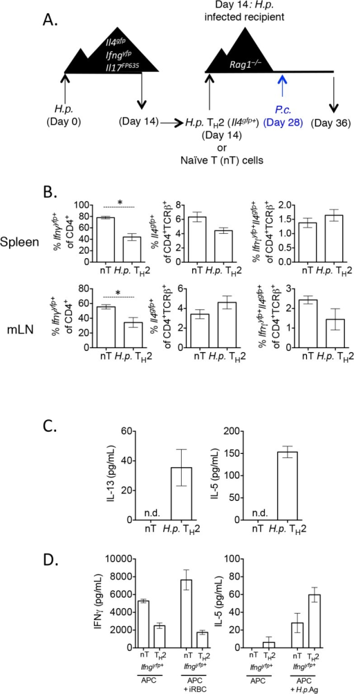 H. polygyrus-induced Th2 cells retain capacity to produce IFNγ during co-infection.A)–B). CD4+TCRβ+Il4gfp+Ifngyfp-Il17aFP635-ex vivo Th2 cells from d14 H. polygyrus-infected mice or naïve CD4+ T cells were transferred to d14 H. polygyrus-infected Rag1–/–recipient mice. Mice were infected with P. chabaudi and analyzed at day 8 post-infection. B). Cytokine reporter expression in transferred cells from spleens and mesenteric lymph nodes of recipient mice. Data representative of 2 separate experiments, with 4 mice per group. C). Ex vivo Th2 or naïve cells were transferred to recipient Rag1-/- mice, as in 9A. At day 8 post-infection with P. chabaudi, 2x105 mesenteric lymph nodes cells were stimulated with 10 μg/mL H. polygyrus antigen and 10 ng/mL IL-4. ELISAs were performed on cell supernatants after 5 days. Data are representative of 2 separate experiments. Lymph nodes were pooled from 2 recipient mice per group. Error bars represent technical replicates. D). Ex vivo Th2 or naïve cells were transferred to recipient Rag1-/- mice, as in 9A. At day 8 post-infection with P. chabaudi, CD4+TCRβ+Ifngyfp+Il4gfp-Il17aFP635- cells were sorted from pooled spleens of 2 recipient mice per group (following the sorting strategy as in Fig 2G). 9.6x104 purified converted CD4+TCRβ+Ifngyfp+Il4gfp-Il17aFP635- cells from a naïve or Th2 past were then cultured with 4x105 irradiated CD4+–depleted splenocytes and one of the following: 3x106 red blood cells from a P. chabaudi-infected donor mouse (day 8 post-infection) or 10 μg/mL H. polygyrus antigen. ELISAs were performed on cell supernatants after 5 days. Error bars represent technical replicates. Data are representative of 2 independent experiments.