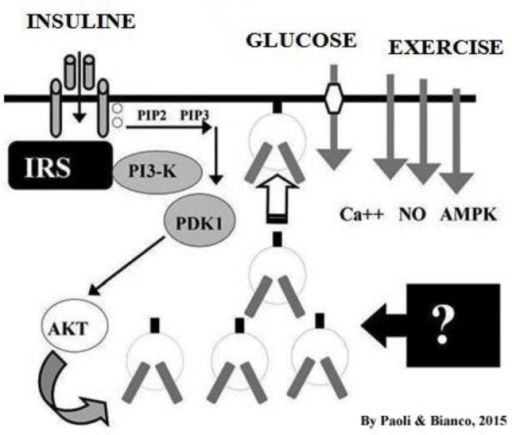 Intracellular transport mechanisms of glucose