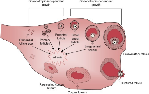 A schematic representation of the process of folliculogenesis in the mammalian ovary from primordial follicles through to follicle ovulation and subsequent corpus luteum formation.Notes: Initial recruitment is gonadotropin independent and involves the differentiation of primordial follicles into primary and preantral follicles, the majority of which undergo atresia prior to puberty. Cyclic recruitment occurs after puberty and is gonadotropin dependent. Cyclic recruitment involves the growth and development of antral follicles through to mature preovulatory follicle selection and ovulation or atresia. This process continues throughout a female's reproductive lifespan until the primordial follicle pool is depleted.