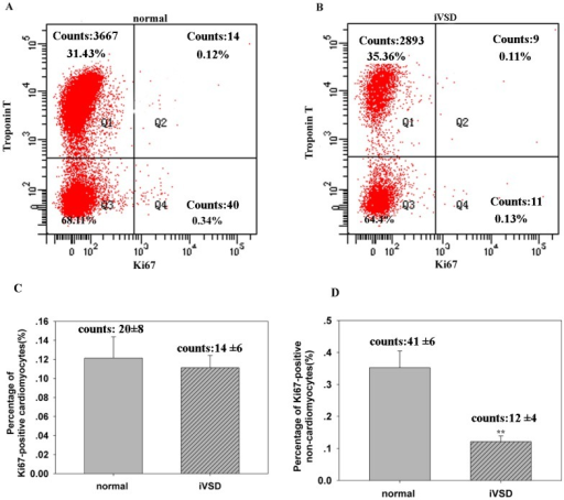 Proliferation rate of cardiomyocytes in iVSD hearts is comparable to control hearts, while proliferating non-cardiomyocytes are significantly reduced in iVSD hearts.Flow cytometry analysis showed that the percentage of Ki67-positive cardiomyocytes was similar in hearts of iVSD patients compared to control hearts and that Ki67-positive non-cardiomyocytes were significantly reduced in iVSD patients compared to control hearts. (A) Representative Ki67-positive cells in control hearts. (B) Representative Ki67-positive cells in iVSD hearts. (C) Quantification of Ki67-positive cardiomyocytes (D) Quantification of Ki67-positive non-cardiomyocytes (iVSD group: n = 20; control group: n = 6). Data presented as means ± SD; **p<0.01.