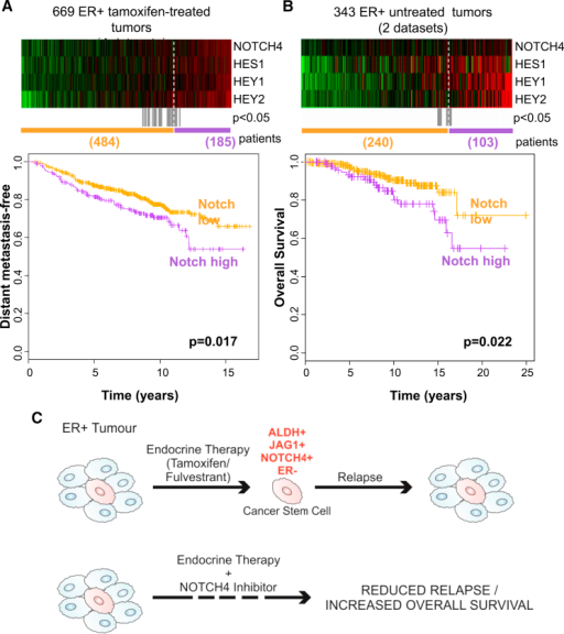 NOTCH4 Receptor Activity Predicts for Resistance to Tamoxifen Treatment and Prognosis in ER+ Tumors(A and B) NOTCH4, HES1, HEY1, and HEY2 genes in ER+ primary tumors from (A) tamoxifen-treated or (B) untreated patients are co-expressed in the heatmap ranked from left to right using the four-gene signature. Colors are log2 mean-centered values; red indicates high, and green indicates low. All significant cut-points (p < 0.05) are shown in gray. Kaplan-Meier analysis using the optimum cut-point (dashed white line) demonstrates that elevated expression of the Notch genes is significantly associated with an increased rate of (A) distant metastasis and (B) decreased overall survival. Vertical bars on survival curves indicate censored cases. p values are based on a log-rank (Mantel-Cox) test.(C) Diagram suggesting that endocrine therapies do not target BCSCs and emphasizing the need of targeting residual drug-resistant cells to eliminate all cancer cells and prevent long-term recurrences of ER+ BC.