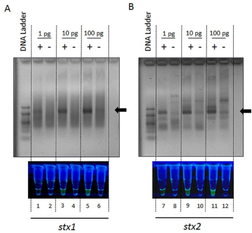 The analysis of STEC stx-positive strain (+) EDL933W and the stx-negative (−) strain MG1655 of E. coli K12 bacteria for the presence of the genes encoding Shiga toxins 1 and 2 and the occurrence of nonspecific PCR products using PCR with a FAM- and BHQ-1-labelled probe. Detection of the signal from the tox1probe (A) or tox2probe (B), complementary to the genes encoding Shiga toxin 1 or Shiga toxin 2, respectively, was performed by analysis of PCR products by agarose gel electrophoresis and using a UV transilluminator. Black arrows indicate the size of the target PCR products: 196 bp for stx1 and 211 bp for stx2.