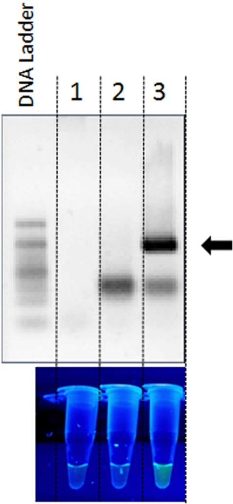 Analysis of the DNA from Bartonella henselae strain Houston-1 for the presence of the sequence encoding 16S rRNA, using PCR amplification with a FAM- and BHQ-1-labelled probe. Detection of the signal from the 16SrRNABhprobe complementary to the gene encoding 16S rRNA was performed by analysis of PCR products by agarose gel electrophoresis and using a UV transilluminator. The control reactions were performed without the primers (Lane 1) or DNA template (Lane 2). The target PCR product size of 180 bp is indicated by the black arrow (Lane 3).