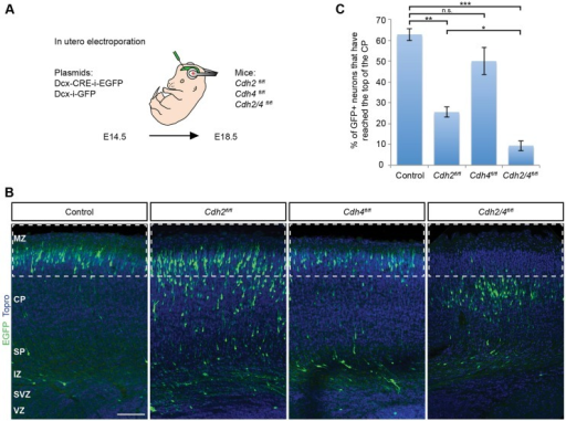 CDH2 and CDH4 are required for radial migration in mouse cortex. (A) Illustration of the strategy to inactivate Cdh2 and Cdh4 in migrating neurons. Embryos from floxed animals were electroporated in utero at E14.5 with DCX-Cre-i-EGFP or DCX-i-GFP. Position of the electroporated cells was analyzed at E18.5 in the developing somatosensory cortex. (B) Representative images of coronal sections of embryos electroporated as described in A. Electroporated neurons are shown in green and nuclei in blue (TO-PRO). (C) Quantification of the percentage of electroporated neurons that enter the boxed areas in B, representing the upper 25% of the CP. Four animals (Cdh2fl/fl), five animals (Cdh4fl/fl) and six animals (Cdh2/4fl/fl) from three separate experiments were analyzed for each condition. The data represent mean±s.e.m. n.s., non significant, *P<0.01, **P<0.0001, ***P<1×10−13 by Bonferroni post-hoc analysis after one-way ANOVA. MZ, marginal zone; SP, subplate. Scale bar: 100 μm.